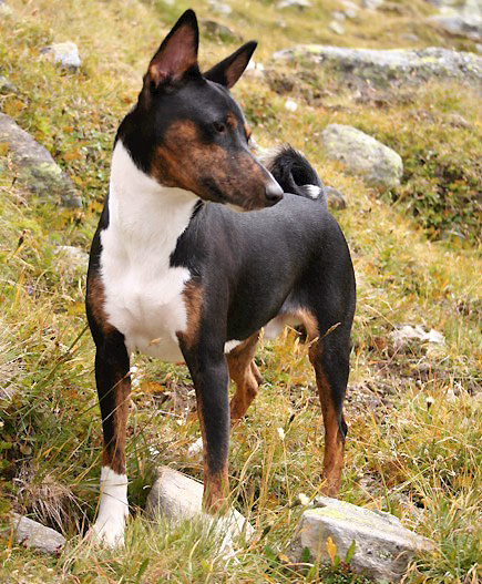 Dogs such as  Basenji have an high level of DNA diversity.